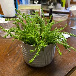 Rattail Crassula plant
