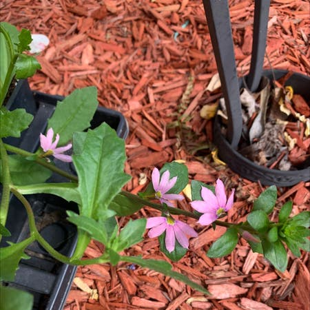 Photo of the plant species Scaevola Aemula by Joy named Your plant on Greg, the plant care app