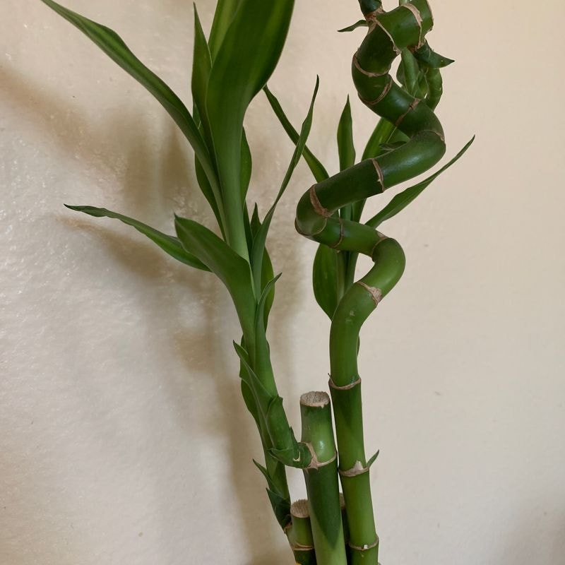 Lucky Bamboo plant in San Diego, California
