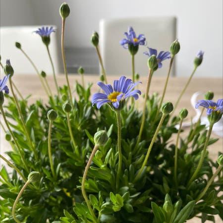 Photo of the plant species blue daisy bush by Kiyabo_ named felicia on Greg, the plant care app