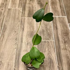 Sweetheart Hoya plant photo by Kristygoldblatt named Hearts & Love on Greg, the plant care app.