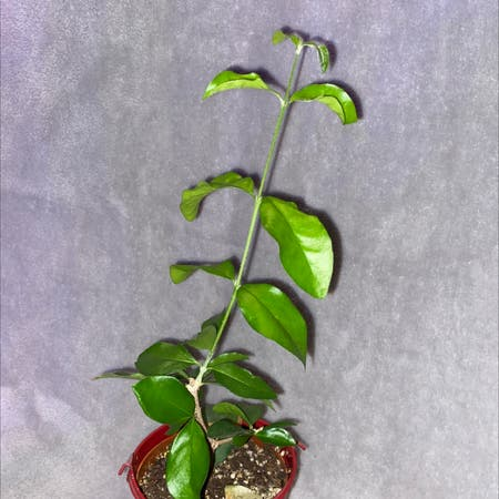 Photo of the plant species Barbados Cherry by Poopyplantsrus named Sir Plancelot on Greg, the plant care app