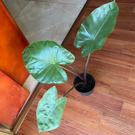 Photo of the plant species Dark Star Elephant Ear by Lightayber named Alocasia Dark star on Greg, the plant care app