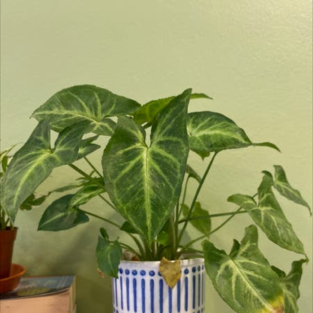 Photo of the plant species Syngonium 'Randy' by Stephloy named Sir Plancelot on Greg, the plant care app