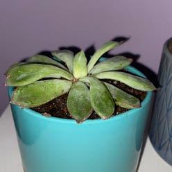 Pearl Echeveria plant