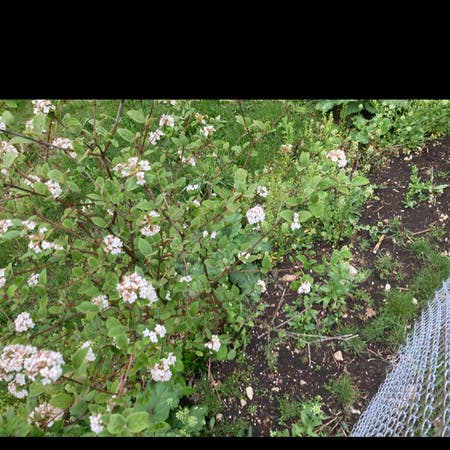 Photo of the plant species Viburnum carlesii by Chris named Your plant on Greg, the plant care app