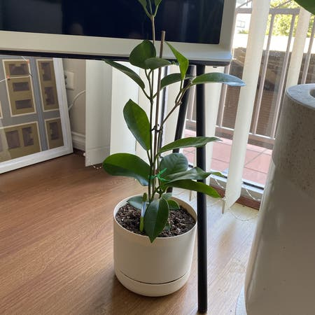 Photo of the plant species Ficus Macrophylla by Pete_arrr named Morty on Greg, the plant care app