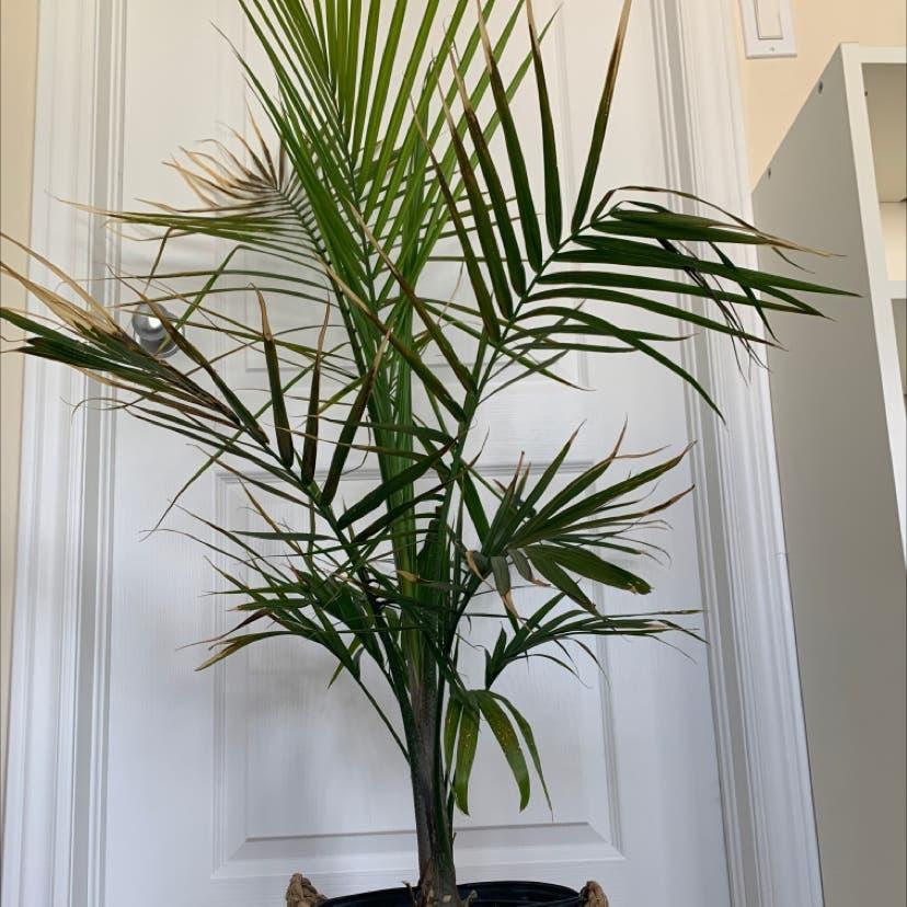 Majesty Palm plant in Hamilton, Ontario