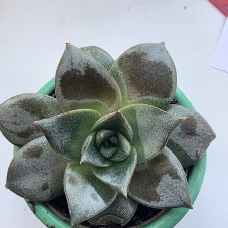 Photo of the plant species Taciveria 'Belana' by Rosa named Succulent 1 on Greg, the plant care app