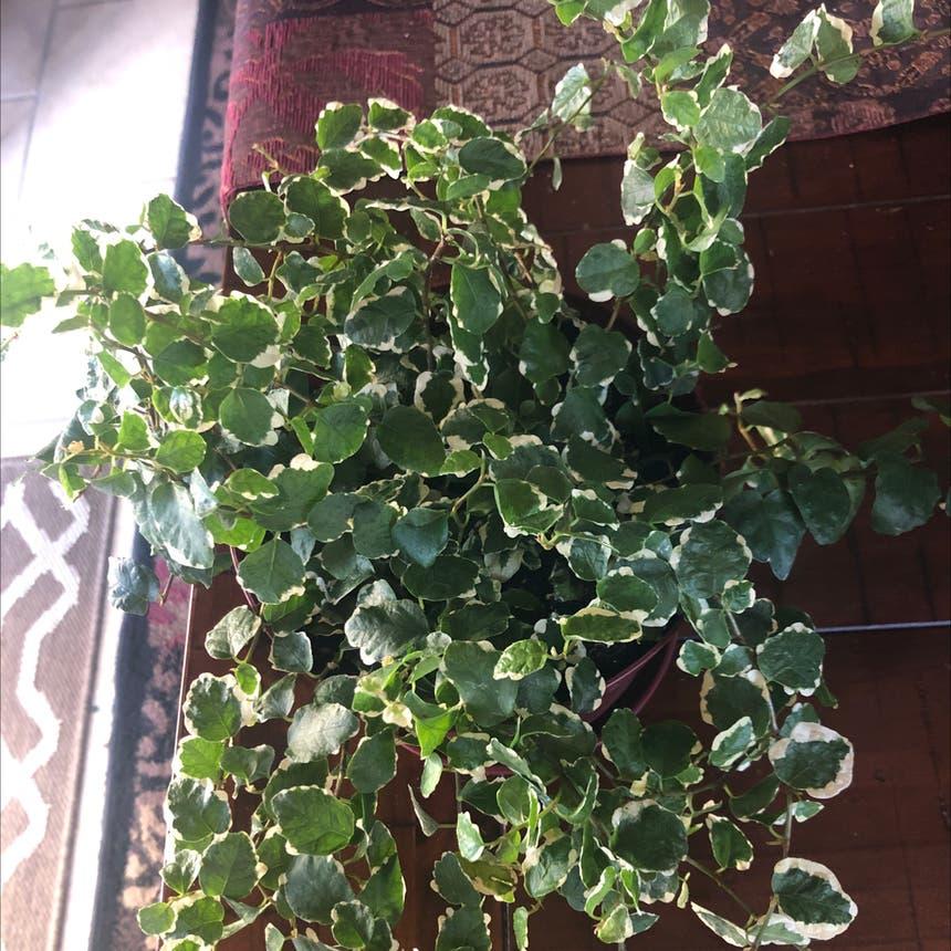Variegated Creeping Fig plant