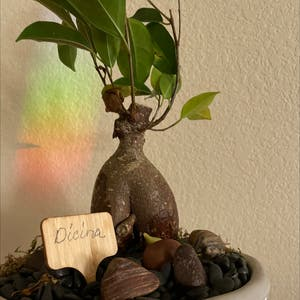 Ficus Ginseng plant photo by Trudy named Dicina on Greg, the plant care app.