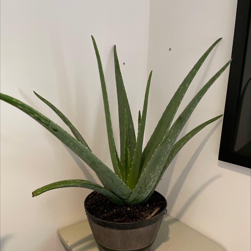 Aloe vera plant in Alpharetta, Georgia