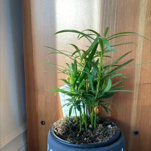 Podocarpus Plant plant photo by Natashaslittleoasis named Harmony on Greg, the plant care app.