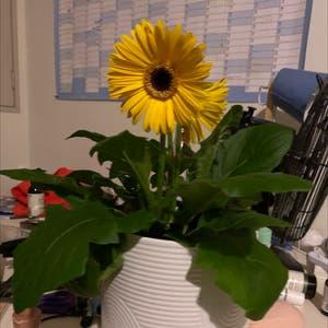 Barberton daisy plant photo by Succy named Da Vinci on Greg, the plant care app.