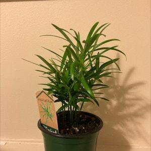 Podocarpus Plant plant photo by Smed.one.22 named Budda on Greg, the plant care app.