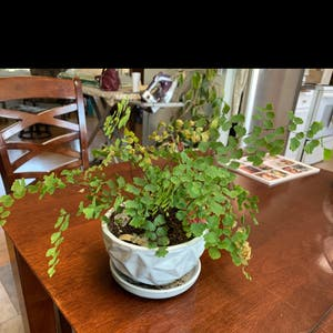 Maidenhair fern plant photo by Jadyn named Your plant on Greg, the plant care app.