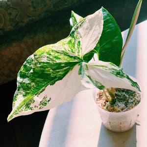 Arrowhead Plant plant photo by Jadyn named Gaia on Greg, the plant care app.