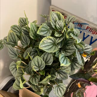 Silver Ripple Peperomia plant in Somewhere on Earth