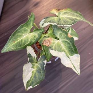 Three Kings Syngonium plant in Somewhere on Earth