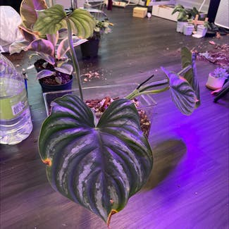 Philodendron plowmanii plant in Somewhere on Earth