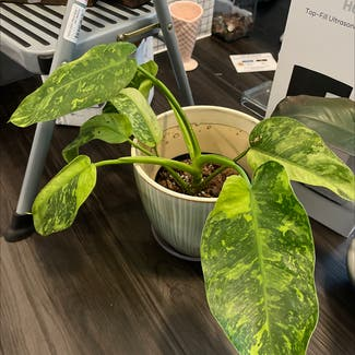 Philodendron 'Jose Buono' plant in Somewhere on Earth