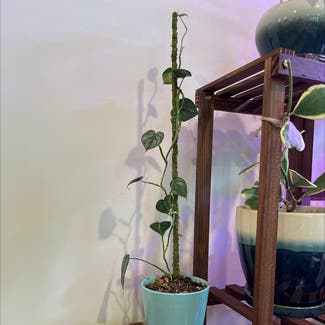Silver Leaf Philodendron plant in Somewhere on Earth