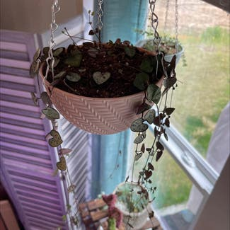 String of Hearts plant in Somewhere on Earth