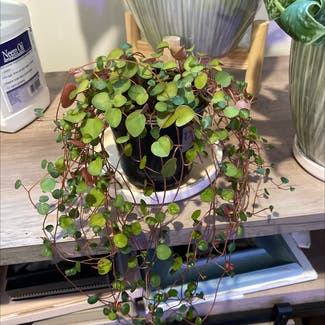 Peperomia 'Ruby Cascade' plant in Somewhere on Earth