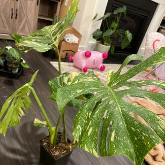 Thai Constellation Monstera plant in Somewhere on Earth