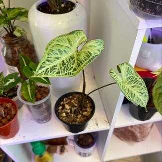 Syngonium 'Batik' plant in Somewhere on Earth
