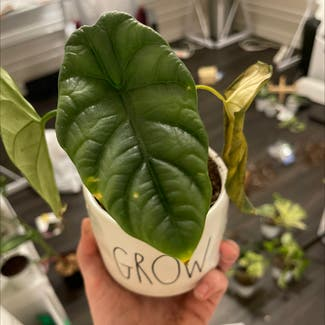 Jewel Alocasia plant in Somewhere on Earth