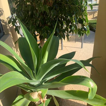 Photo of the plant species Lion's Tail Agave by Simmy named Yukky on Greg, the plant care app