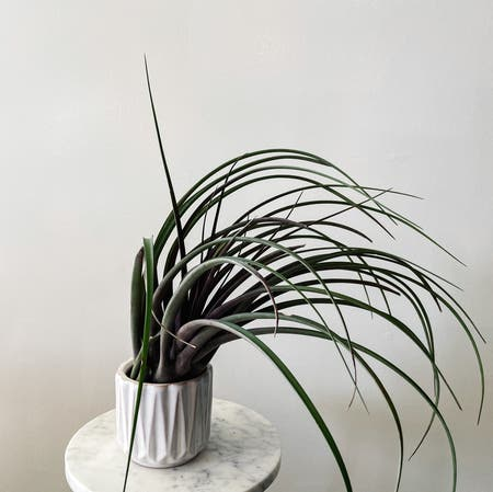 Photo of the plant species Capitata Air Plant by Plantsofthexu named Tillandsia capitata maroon on Greg, the plant care app