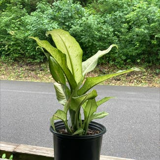 Dieffenbachia plant in New Paltz, New York