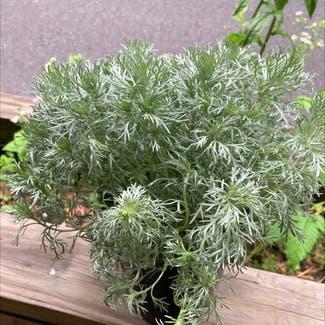 Absinth sagewort plant in New Paltz, New York