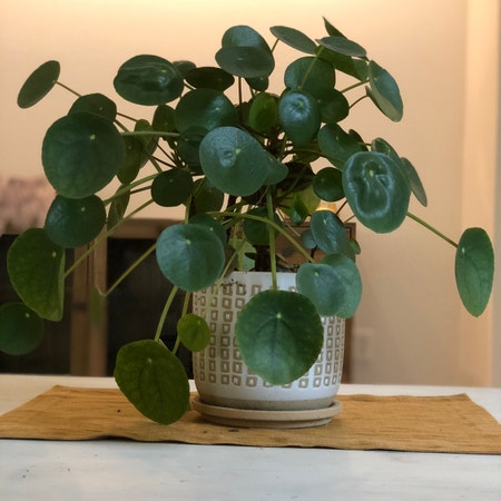 Photo of the plant species Chinese Money Plant by Colin named Remington on Greg, the plant care app