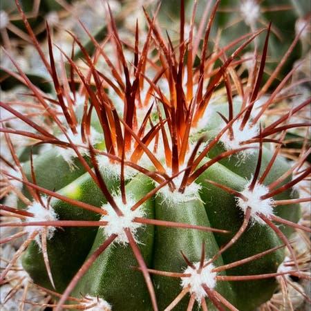 Photo of the plant species Melocactus azureus ferreophilus by Katherine named Melocsctus azureus ferreophilus on Greg, the plant care app
