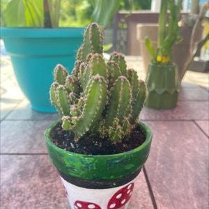 Hylocereus undatus plant photo by Catandplantlover1 named Socrates on Greg, the plant care app.