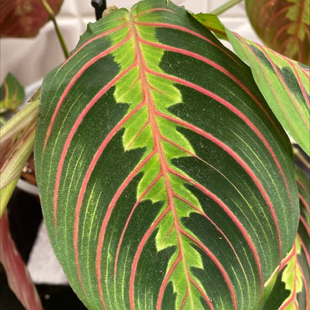Photo of the plant species Prayer Plant by Angeldahouk named Maranta Fascinator on Greg, the plant care app
