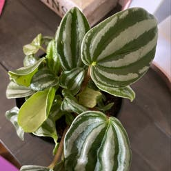 Peperomia Dwarf Watermelon plant