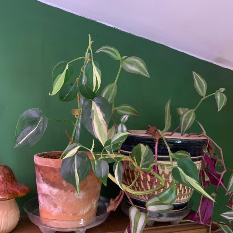 Brasil Philodendron plant