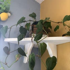 Philodendron 'Micans' plant
