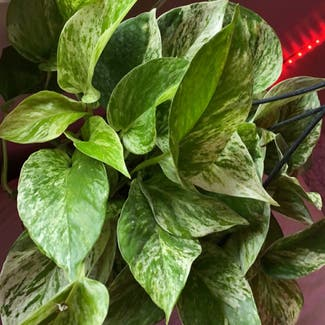 Marble Queen Pothos plant in Chatham, Ontario