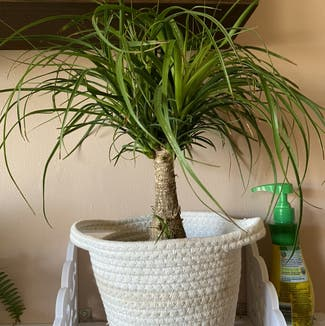 Ponytail Palm plant in Chatham, Ontario