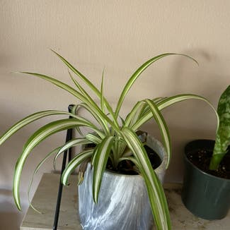 Spider Plant plant in Chatham, Ontario
