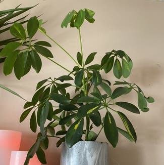Dwarf Umbrella Tree plant in Chatham, Ontario