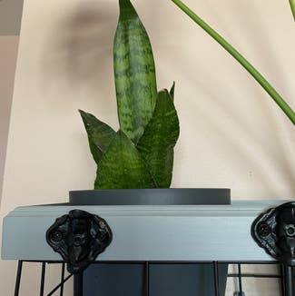 Snake Plant plant in Chatham, Ontario