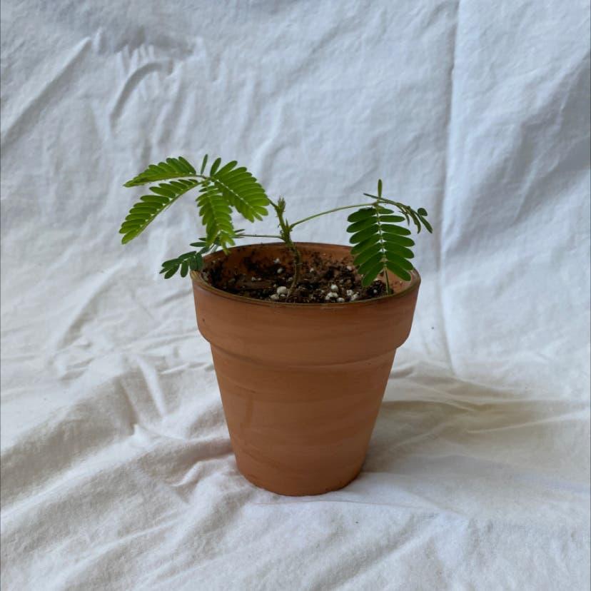 Sensitive Plant plant in Raleigh, North Carolina