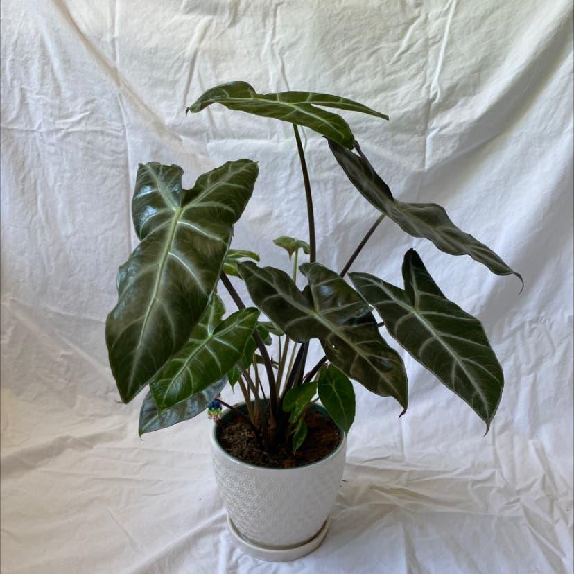 Alocasia Amazonica plant in Raleigh, North Carolina