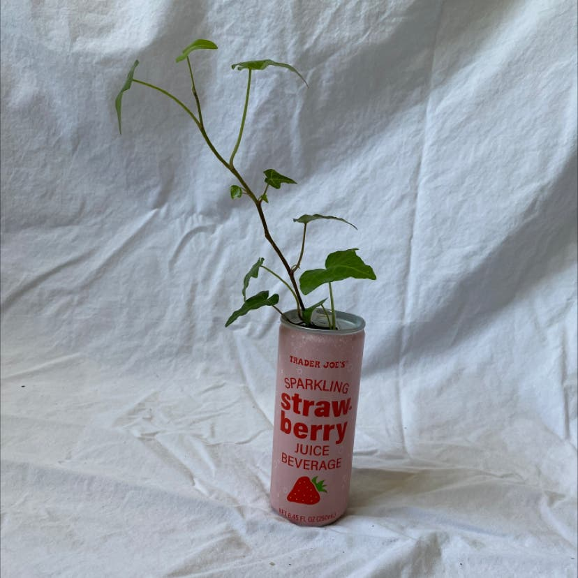 English Ivy plant in Raleigh, North Carolina
